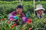 西平县杨庄乡的农民正在收获成熟的辣椒